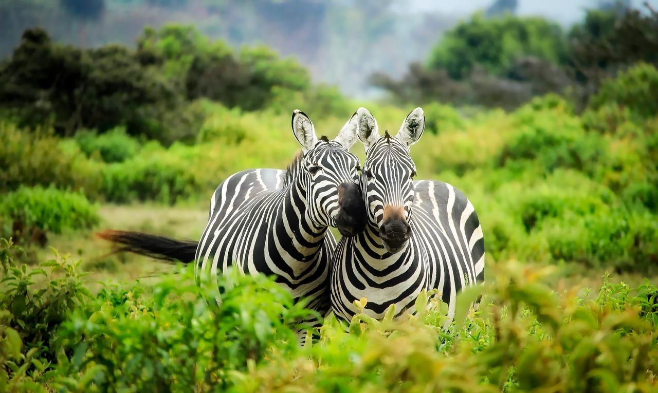 duas zebras no mato