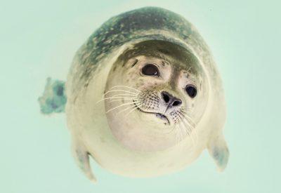 foca dentro d'água