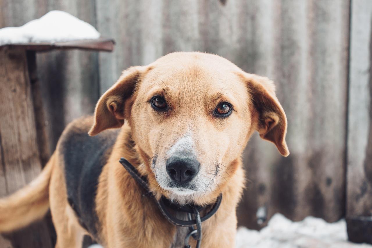 cachorro marrom com manchas pretas no dorso usando coleira