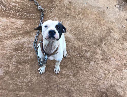 Seleção para adotantes dos pitbulls resgatados será iniciada nesta quarta-feira