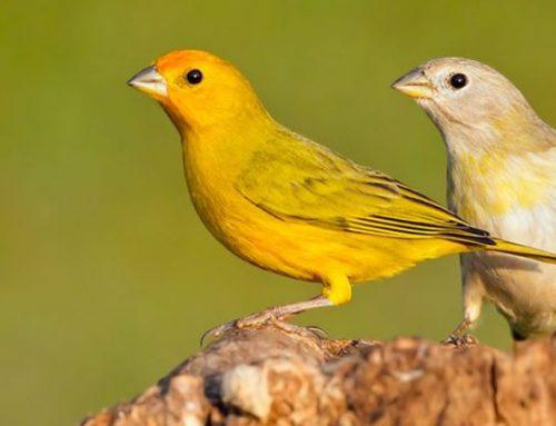 TJSP condena homem por posse ilegal de aves silvestres