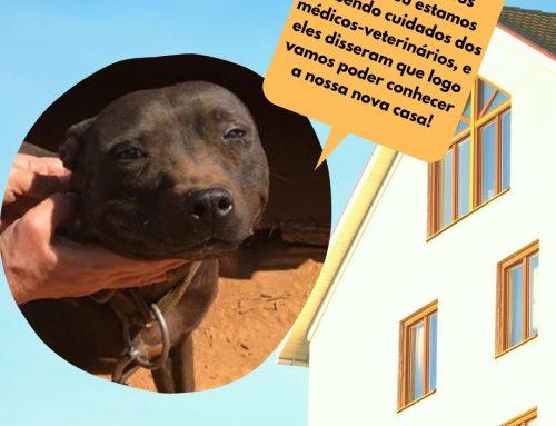 Interessados em adotar os cachorros mestiços da raça pitbull devem preencher o formulário disponível