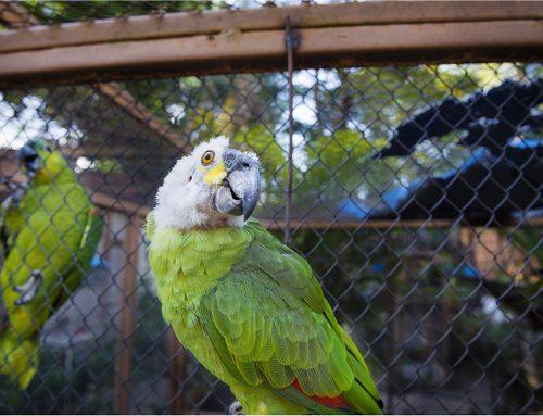 IEF alerta sobre aumento do tráfico de aves no período de reprodução de espécies
