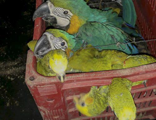 Ibama apreende 39 animais em operação contra o tráfico em MG