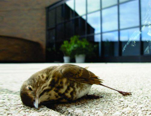 Solução simples evita choque de pássaros contra vidros