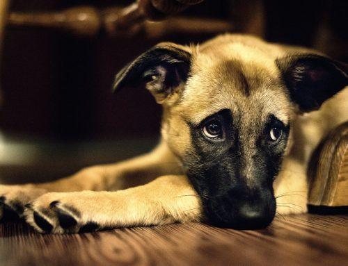 TJTO determina que responsável por cães abandonados em Araguaína/TO mantenha distância dos animais e pague por alimentação