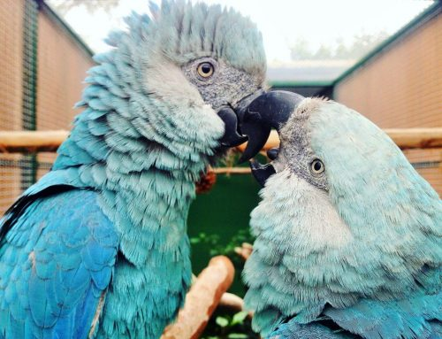 Ararinhas-azuis de volta à Caatinga