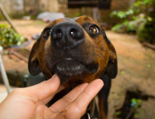 Ação do MPSC garante que o Município de Mafra/SC adote políticas públicas para controle de animais abandonados