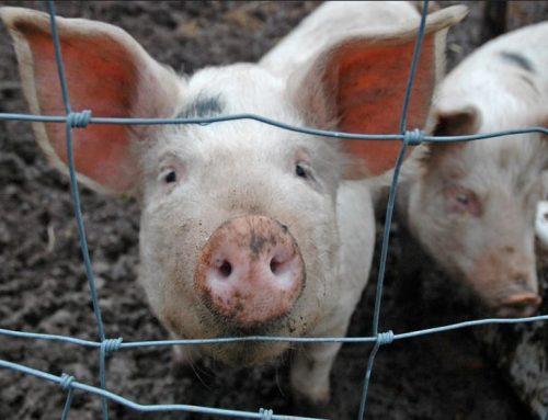 """Justiça suspende """"prova do porco ensebado"""" no RS"""