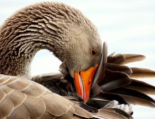 STF analisará proibição de foie gras por município