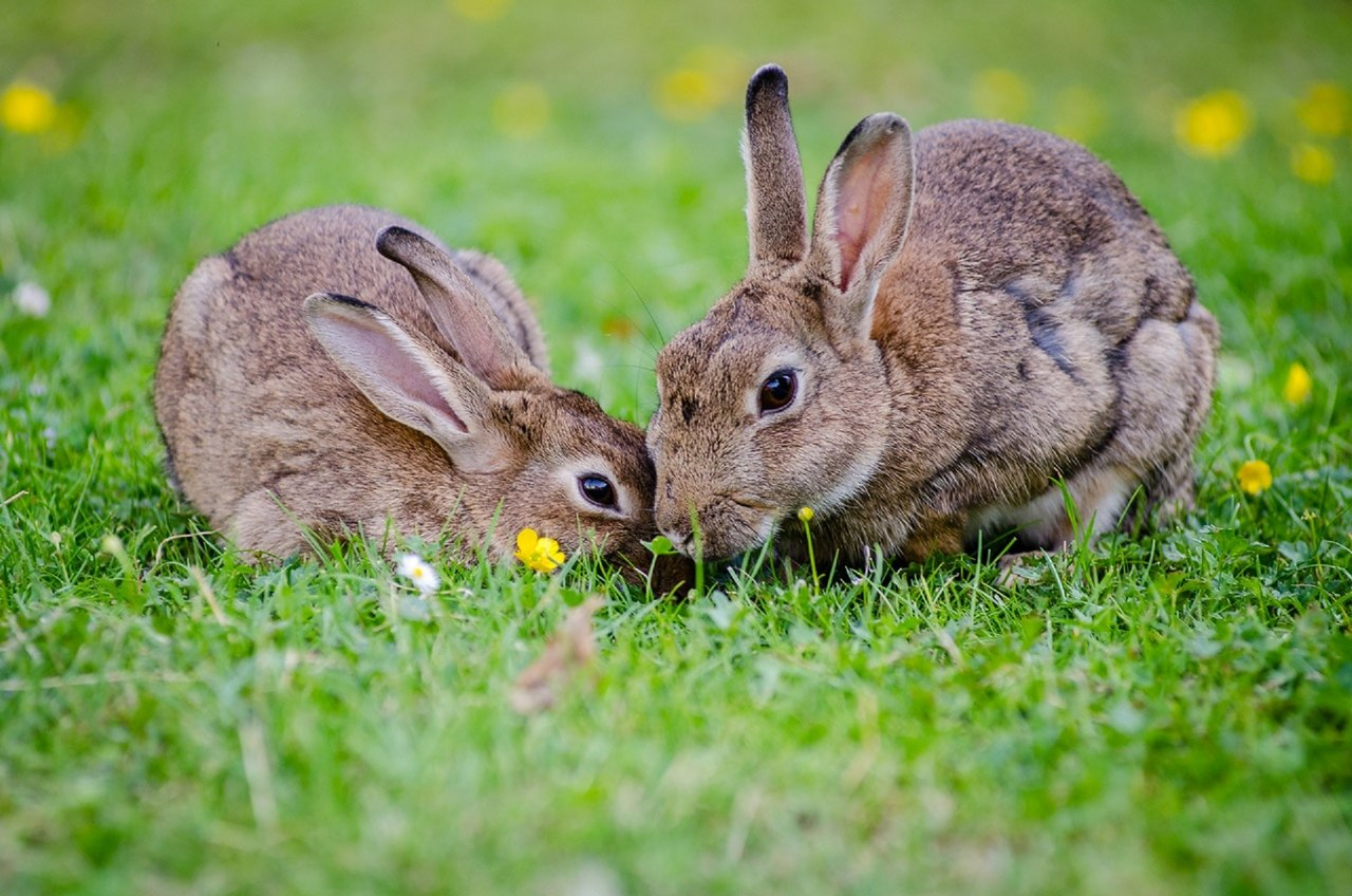dois coelhos comendo grama