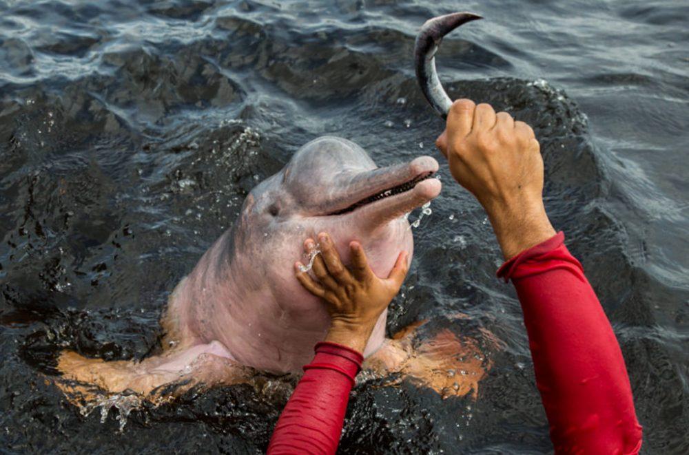 boto rosa sendo alimentado por homem