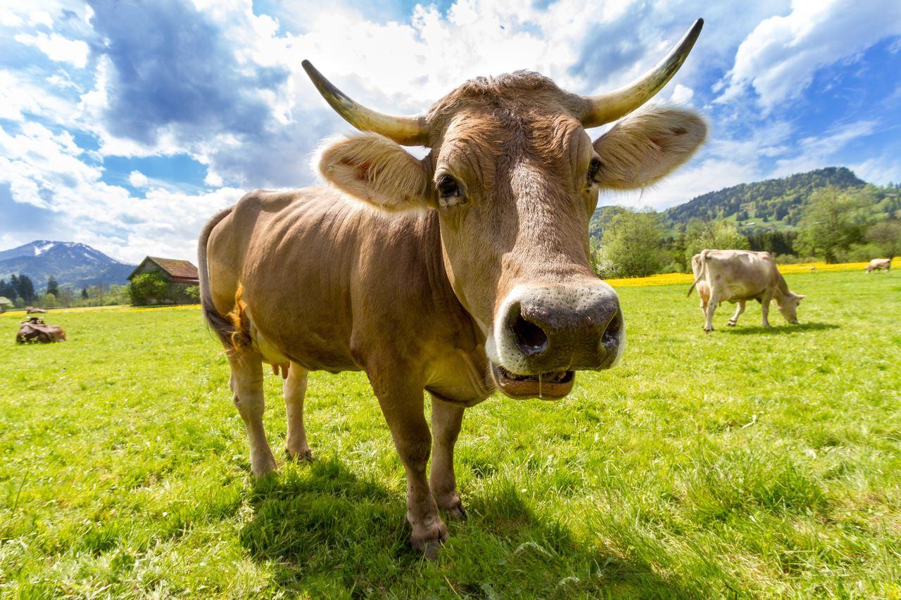 vaca marrom com chifres no pasto a céu aberto