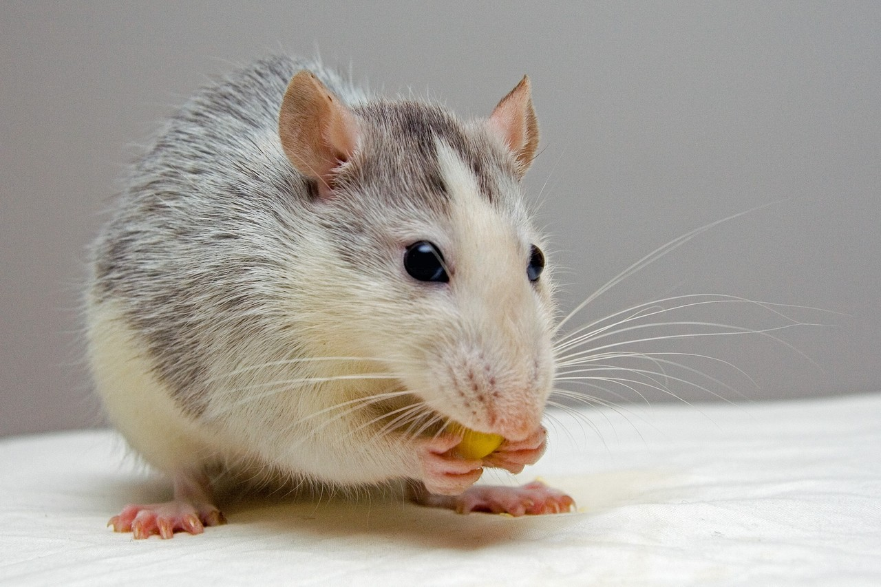ratinho comendo