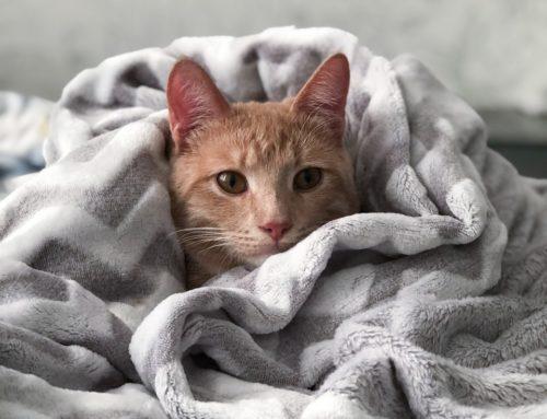 Gatos podem aumentar a imunidade contra Covid-19